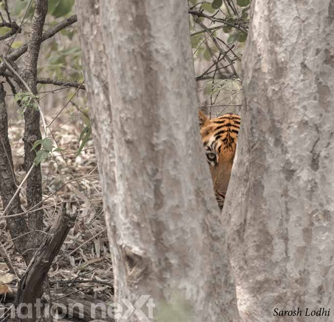 Tiger Tales