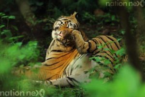 CHILLING OUT: A tiger captured in a lazy mood during the monsoon season safari at Tadoba. (Photo by: Sarosh Lodhi)