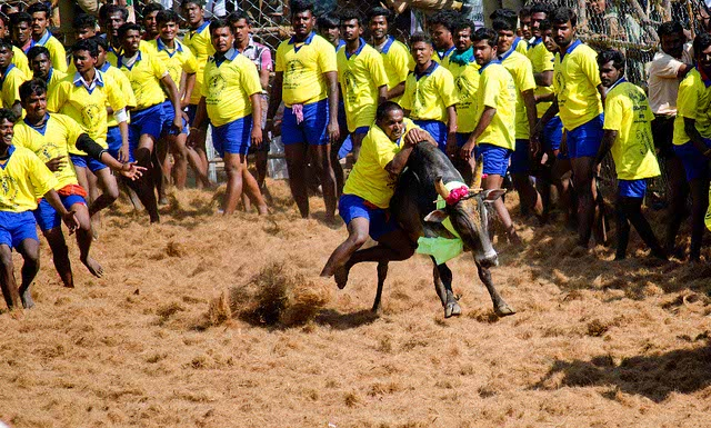 Whether Jallikattu will take place or not this year only time will tell but it has certainly brought many people together for the peaceful protest.