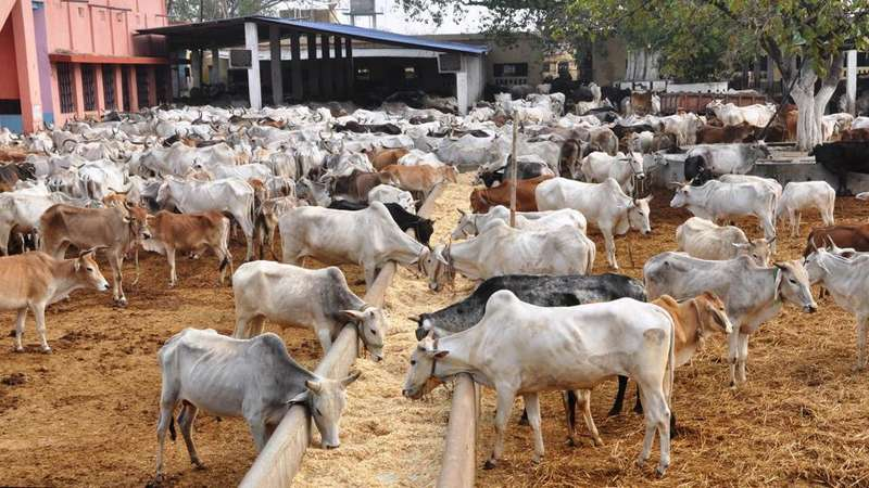 Nagpur Municipal Corporation is taking steps to move cattle from the city to Nandgram, a cattle shed project at Wathoda near the Bhandewadi dumping yard.