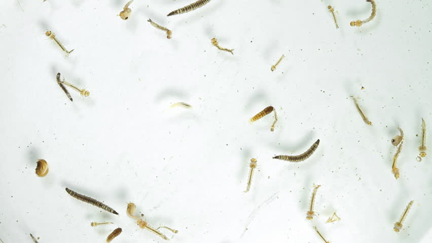 In an inspection drive that NMC held recently, dengue larvae was found breeding in 29 schools, 94 residences and in 2 hospitals in the city.