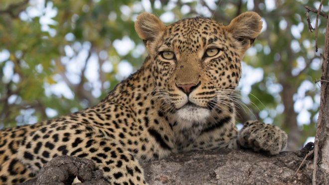 Panic and fear gripped the residents of Manjidana Colony near Katol Road in Nagpur on Wednesday after reports of spotting a leopard in the area surfaced.