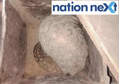 Forest department of Nagpur released world's most trafficked mammal Pangolin that was found in MIDC area near Tarun Bharat Press at Hingna on Saturday.