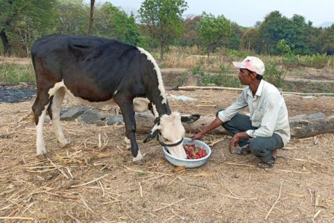 A farmer from Maharashtra's Satara district fed unsold strawberries to his cows that he had produced in his two-acre farm.