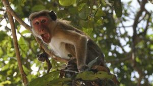 A troop of monkeys attacked a lab technician on Friday in Meerut and ran away after snatching samples of suspected COVID-19 patients from the technician.
