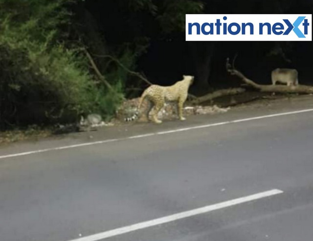 Panic gripped Nagpur after rumours of a leopard being sighted started doing rounds. A photo of a leopard eyeing a cow went viral and soon panic spread.