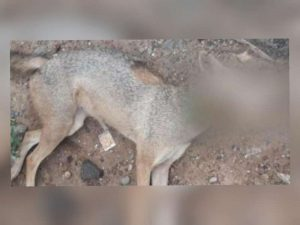 In a horrific incident, a jackal was killed by a gang of 12 men using a country bomb-covered in meat near Jeeyapuram in Trichy, Tamil Nadu, on June 8.